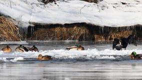 Aalscholver op ijs stock footage