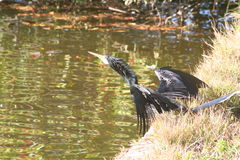 Aalscholver (phalacrocorax carbo) Stock Foto