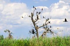 Aalscholvernesten in bomen in de Delta van Donau royalty-vrije stock afbeelding