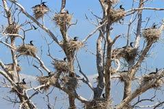 Aalscholvernesten in een boom Stock Foto