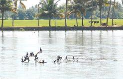 Aalscholvers in Binnenwateren in Kerala, India Stock Fotografie