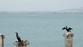 Aalscholvers in Cruisehaven Algemeen San Martin - Pisco - Peru stock footage