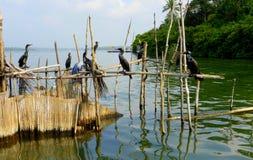 Aalscholvers die op houten vissenval zitten Stock Foto
