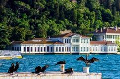 Aalscholvers die van de zon genieten door Bosphorus van Istanboel, Turkije Stock Fotografie