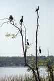 Aalscholvers in een boom bij Meer Apopka, Florida worden neergestreken dat stock foto's