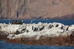 Aalscholvers Islas Ballestas Stock Fotografie