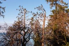 Aalscholvers op de bomen stock fotografie