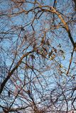 Aalscholvers op de bomen stock afbeelding