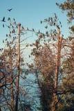 Aalscholvers op de bomen royalty-vrije stock foto