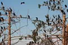 Aalscholvers op de bomen royalty-vrije stock fotografie