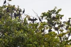 Aalscholvers op de boom in de mangroven van Guatemala Stock Foto