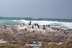 Aalscholvers op een rots stock foto