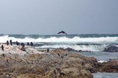 Aalscholvers op een rots royalty-vrije stock afbeeldingen