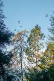 Aalscholvers over de bomen royalty-vrije stock afbeeldingen