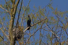 Aalscholvers rond hun nest Royalty-vrije Stock Fotografie