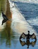 Aalscholvers & zeemeeuw stock afbeeldingen