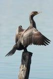 Aalscholverwatervogel Emilia Romagna Italy Stock Afbeeldingen
