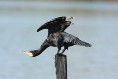 Aalscholverwatervogel Emilia Romagna Italy Royalty-vrije Stock Foto's