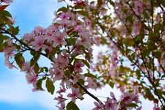 AAn开花与桃红色花的苹果树分支 库存照片