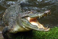 Aan het sluiten voor comfort. Een het aanvallen krokodil. royalty-vrije stock afbeeldingen