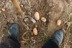 Aan oogstaardappels Royalty-vrije Stock Afbeelding