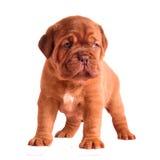Aanbiddelijk 1 maand oud puppy Stock Afbeelding