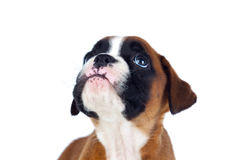 Aanbiddelijk bokserpuppy die omhoog eruit zien stock fotografie