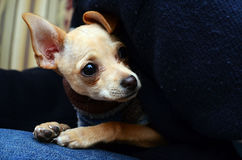 Aanbiddelijk chihuahuapuppy in de voorgrond stock foto's