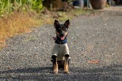 Aanbiddelijk close-up Weinig Zwarte Puppyzitting in de Zon met de Tong uit Uiterst kleine Dragende Kleren Van een hond - Aziatisc stock fotografie