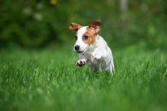 Aanbiddelijk de terriërpuppy die van hefboomrussell in openlucht lopen Royalty-vrije Stock Foto