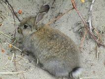 Aanbiddelijk en schuw jong konijntjeskonijn, het strand van Jericho, Brits Colombia, Canada, 2018 Stock Foto's