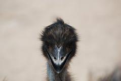 Aanbiddelijk Gezicht van een Emoe met Zwarte Veren Stock Afbeelding
