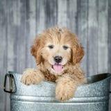 Aanbiddelijk Gouden -gouden-doddle Puppy stock foto's