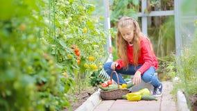 Aanbiddelijk meisje die gewas van komkommers, pepers en tomaten in serre verzamelen Portret van jong geitje met rode binnen tomaa stock videobeelden