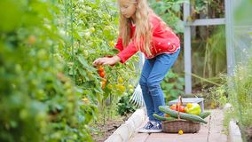 Aanbiddelijk meisje die gewassenkomkommers en tomaten in serre verzamelen Portret van jong geitje met rode tomaat in handen stock videobeelden