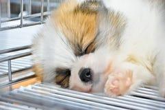 Aanbiddelijk pomeranian puppy Royalty-vrije Stock Afbeeldingen