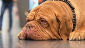 Aanbiddelijk rasecht huisdier op hondtentoonstelling stock video
