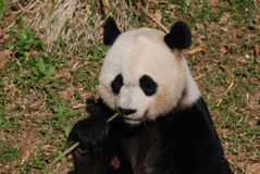 Aanbiddelijk Reuzepanda eating een Groene Spruit van Bamboe royalty-vrije stock afbeeldingen