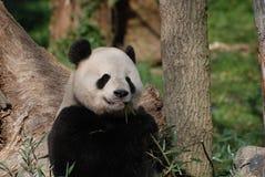 Aanbiddelijk Reuzepanda eating een Spruit van Bamboe stock foto