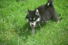 Aanbiddelijk schor puppy die door een grasgebied lopen Stock Afbeeldingen