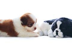Aanbiddelijk van ras en de puppyhond die van shihtzu rekaxing liggen Royalty-vrije Stock Fotografie