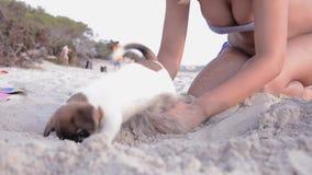 Aanbiddelijk weinig hond, hefboom russel stock footage