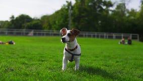Aanbiddelijk weinig Jack Russel Terrier die zich op het groene gras met open mond op een de zomerdag bevinden stock footage