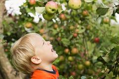 Aanbiddelijk weinig peuterjong geitjejongen die groene appelen op organisch landbouwbedrijf bekijken Gezond voedsel Oogstexemplaa stock fotografie