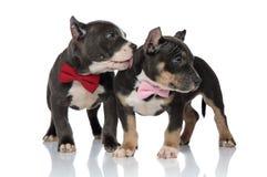 Aanbiddelijke Amerikaan intimideert puppy zijdelings merkwaardig kijkend royalty-vrije stock foto