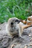 Aanbiddelijke baby meerkat zitting op een rots en rond het kijken stock foto