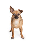 Aanbiddelijke Chihuahua-de Hond van het Mengelingsras Status Stock Foto's