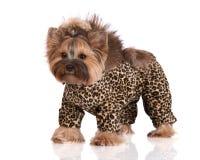 Aanbiddelijke de terriërhond van Yorkshire in kleren Stock Foto