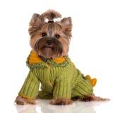 Aanbiddelijke de terriërhond van Yorkshire in kleren Royalty-vrije Stock Foto