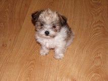 Aanbiddelijke foto van een Malchi-puppy Royalty-vrije Stock Foto's